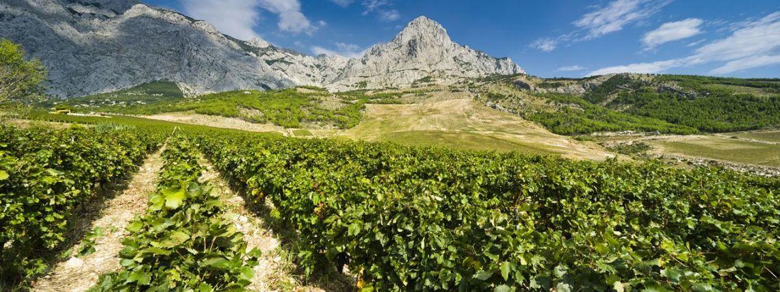 ZlatanOtok_vineyard_Makarska