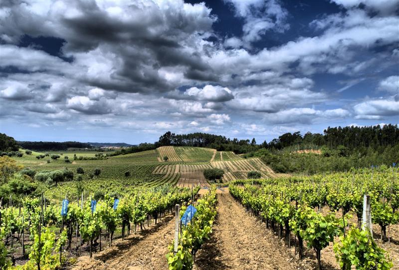 bairrada+vineyard