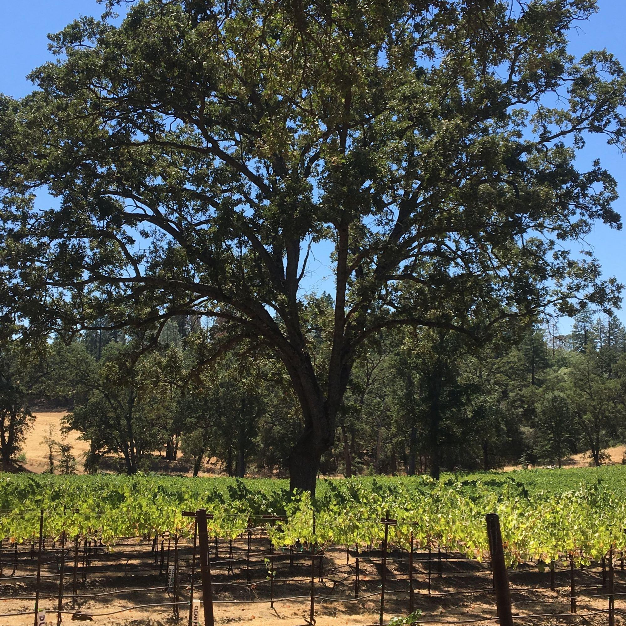 ironstone winery vines (1)