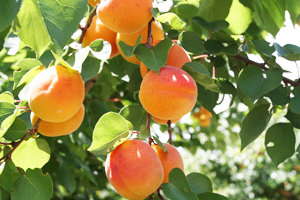 blenheim_apricot_tree-image2