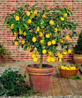 Meyer-Lemon_Tree_450_Main