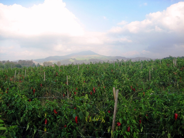 piment-despelette-pepper-field